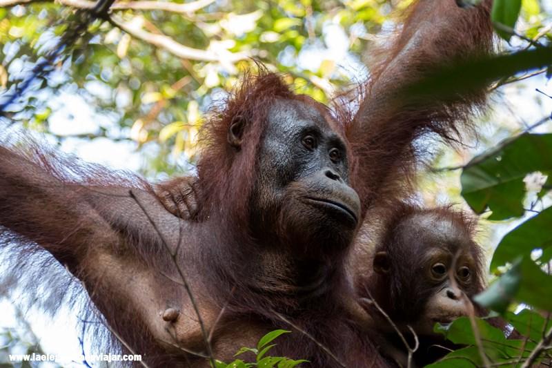 Orangután con su cría en Borneo