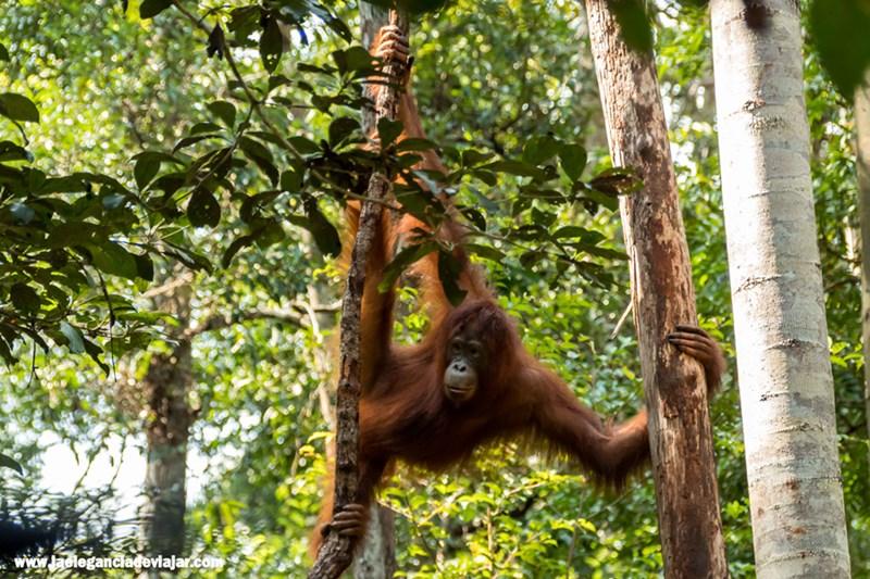 Orangután en Borneo